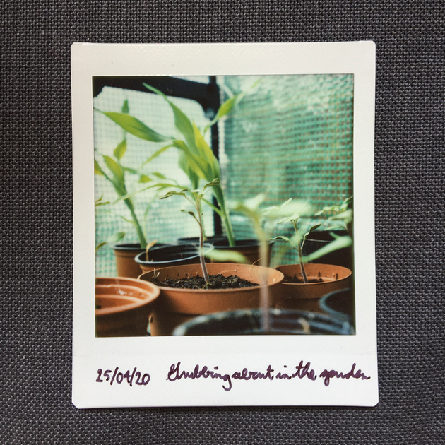 Lomo'Instant Square of tomato and sweetcorn plants growing in a greenhouse