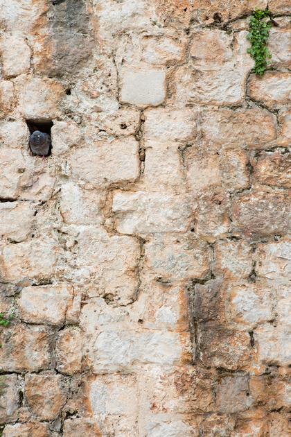 Pigeon in the city walls, Dubrovnik